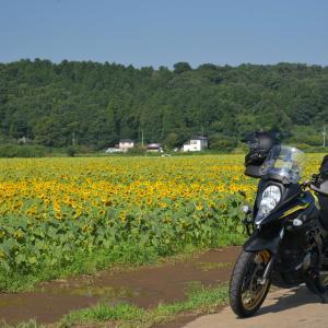 茨城県明野ひまわり畑