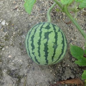 まだまだ終わらない夏野菜と季節の変わりと種購入方法