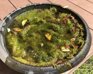屋外睡蓮鉢ビオトープのリセット