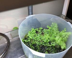 屋外睡蓮鉢ビオトープの再構築ー生体追加