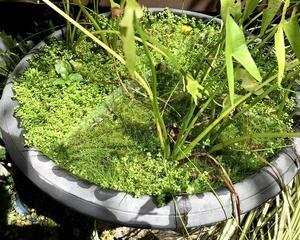 屋外の水草の状態