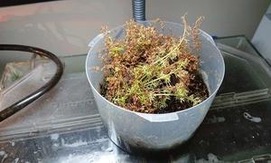 水上葉ポットの植え直し