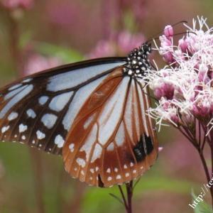 旅する蝶アサギマダラ