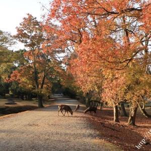 紅葉の奈良公園散策