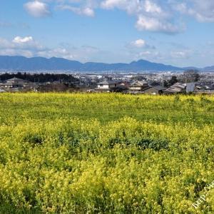 山の辺の道(菜の花)