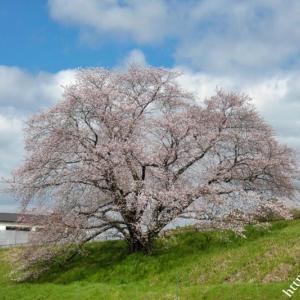 幾坂池の1本桜