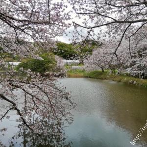 内山永久寺跡の桜