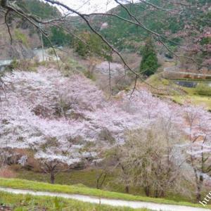 天理ダムの桜