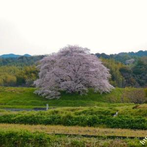 大美和の杜と内山永久寺跡の桜(動画)