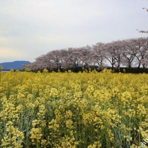 醍醐池の桜と菜の花