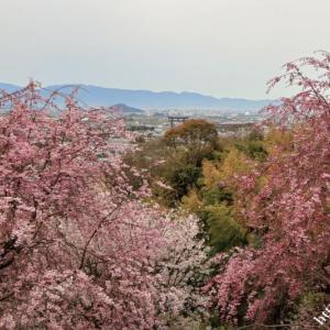 大美和の杜の桜