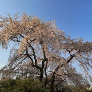 下市町で桜巡り