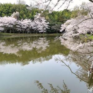 再び内山永久寺跡の桜