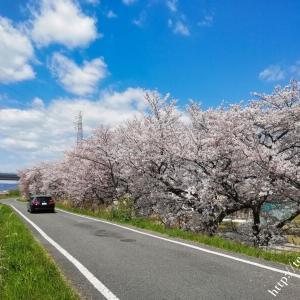 近所の桜とレンゲソウ