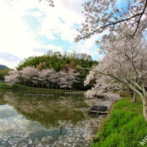 再び内山永久寺跡の花筏