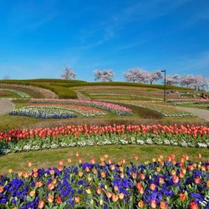 馬見丘陵公園の桜とチューリップ