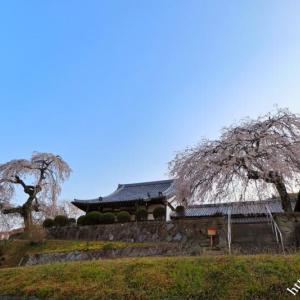 小倉観音寺の枝垂れ桜