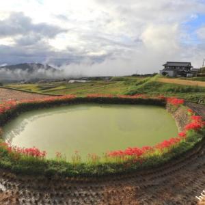 御所市伏見の溜池に咲く彼岸花