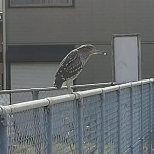 この野鳥の名前は?
