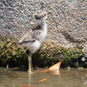 ケリ & ツバメの幼鳥