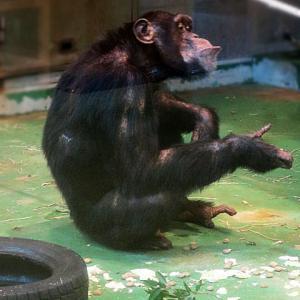 旭川市旭山動物園 チンパンジーの森・ちんぱんじー館 シマフクロウ 19