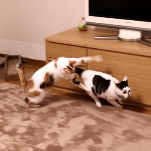 二匹で猫バトル