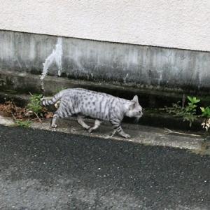 ご近所のサバトラ