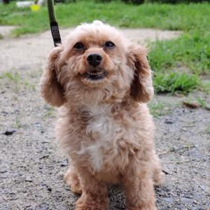 tpdogの新しい仲間  お預かり訓練 ミックス犬 くりんちゃん