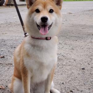 tpdogの新しい仲間  幼稚園  柴犬  アイコちゃん