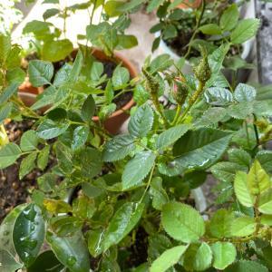 ベランダ菜園、朝採れたてのハーブ