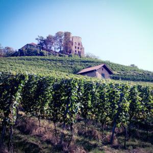 ドイツのワイナリーで葡萄摘み!