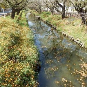 氷川神社裏の新河岸川・彼岸花とキバナコスモス