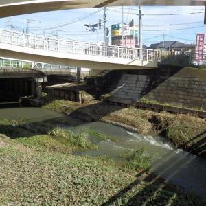 増水した新河岸川で戸惑うシラサギ