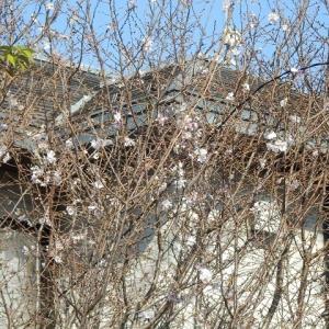 ジュウガツザクラ(十月桜)が咲いている(西小仙波)