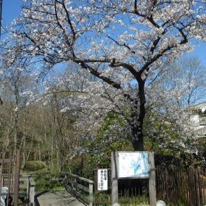 桜とペタンク 新河岸川滝ノ下付近のサクラ