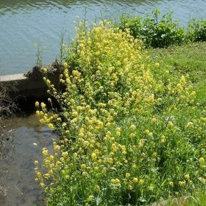 サクラと土手の白い花 新河岸川の桜・国道16号の下流から上流の弁天橋まで
