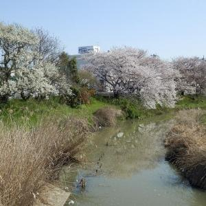 白いタンポポと桜 九十川起点近くと伊佐沼公園のサクラ