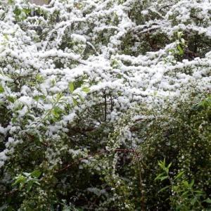 春の雪 また満開の ユキヤナギ(本物の雪と雪柳)
