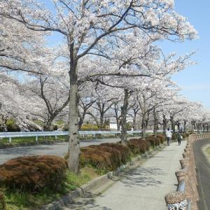 伊佐沼のサクラと富士