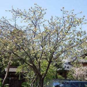 ウコンザクラ(鬱金桜)は満開(八幡通り)