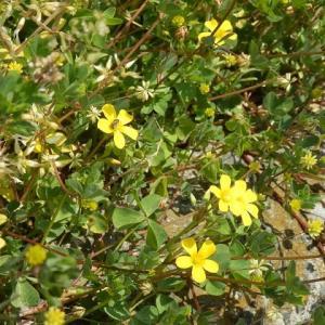空地は今年も花盛り・黄とピンク2色のカタバミ
