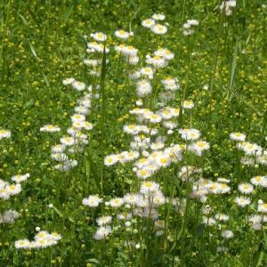 空地は今年も花盛り・ハルジオンとコマツヨイグサと見知らぬ花
