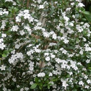 6月を待てずに咲いた6月雪(ハクチョウゲ)