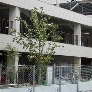 U_PLACE 周囲に咲く花 ヤマボウシ(山法師)?