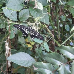 梅雨のあさ 枝先眠る アゲハチョウ