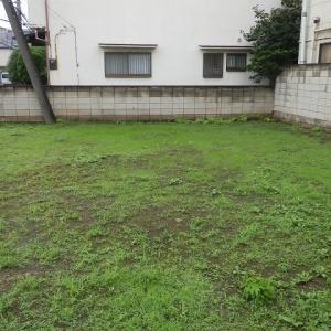 緑増す空地のハトもディスタンス(キジバト)