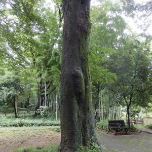 大木の根元這いだし セミの殻(仙波河岸史跡公園)