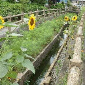 ヒマワリとコスモスの咲く用水路