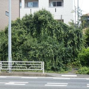 ツタ覆う 全面緑化に 丸き花(ツタに飲み込まれる家・2)