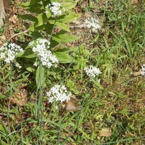ニラの花 蝶かと見れば 枯れ葉かな